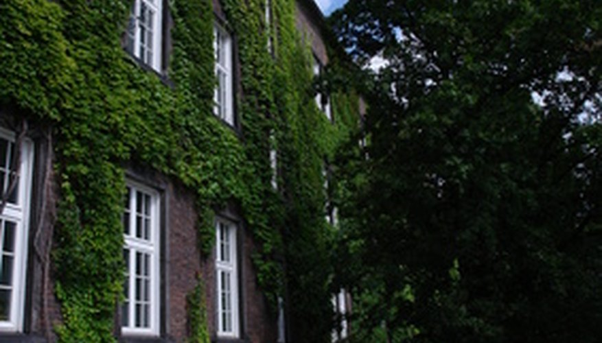 Ivy can climb plants, trees and shrubs just the way it climbs buildings.