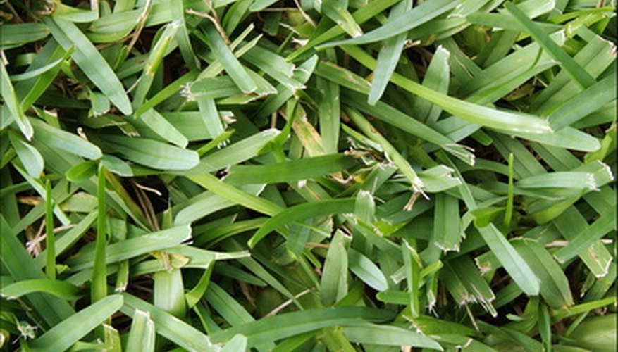 Plant sprigs of St. Augustine grass to start a lawn.