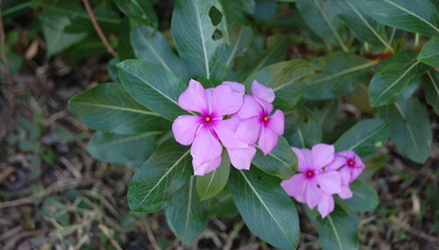 Vinca rosea has many uses outside the garden.