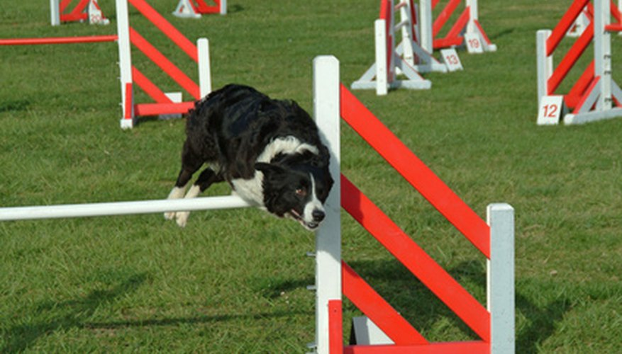 Border collies are excellent athletes, but they get bored easily when left alone.