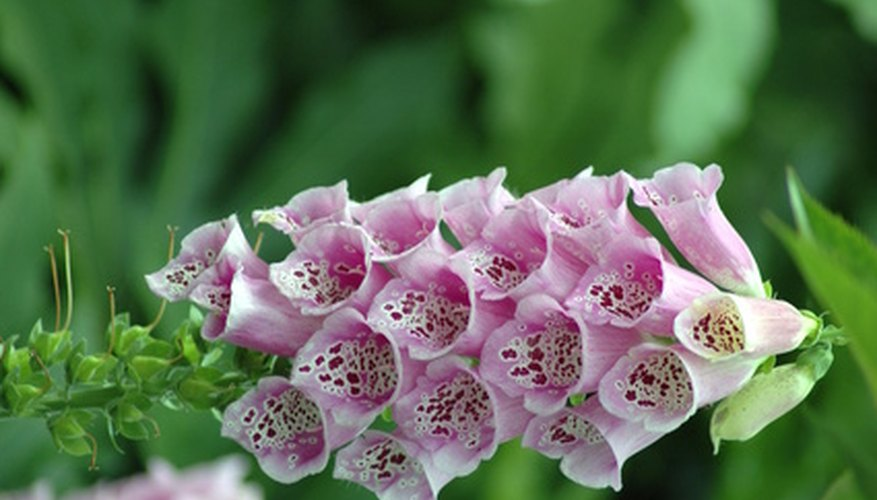 The foxglove plant blooms in its second year.