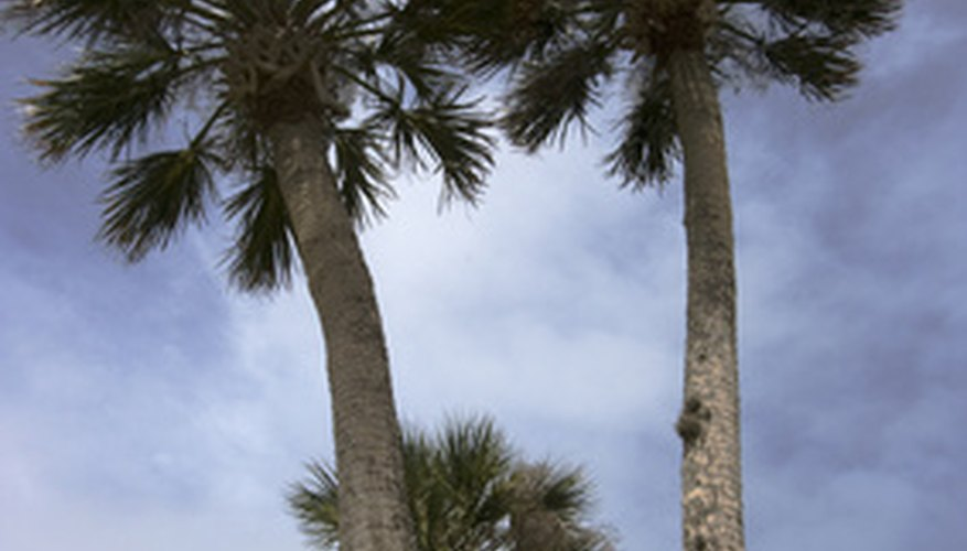 The cabbage or sabal palm grows all over Florida.