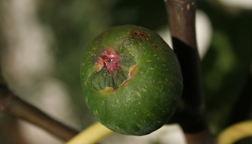 Water your fig tree correctly to get the best fruit.