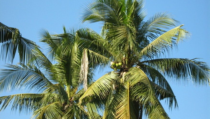 Coconut palms are a very forgiving tropical tree.