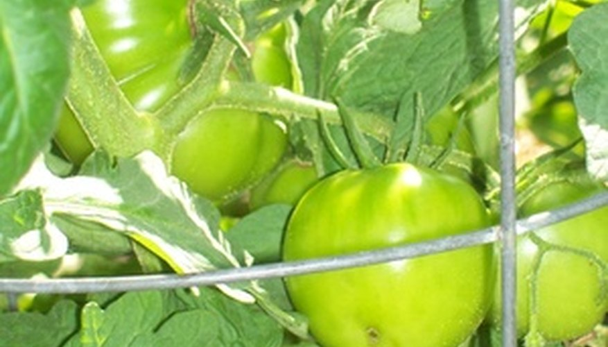 Tomato plants may be staked or caged for support.