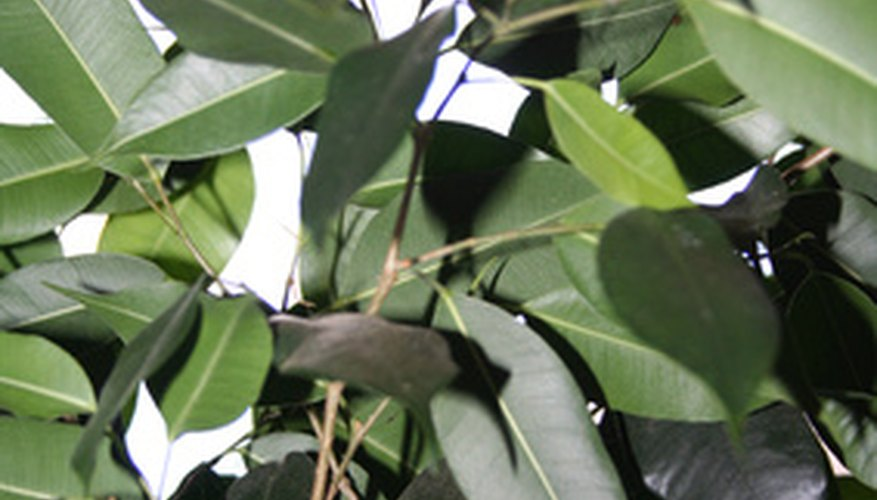 Rubber tree leaves (Ficus elastica)