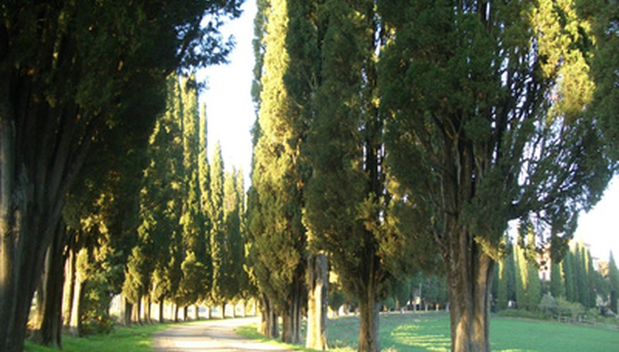 Italian cypress trees require pruning to maintain a desired height.
