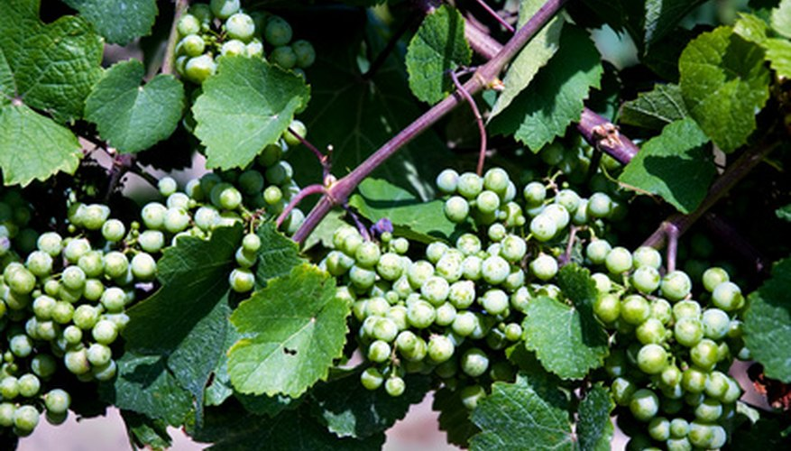 Grape vines can be identified by leaf shape and color.