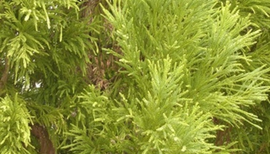 Cedar trees have dense foliage and are ideal for hedges.