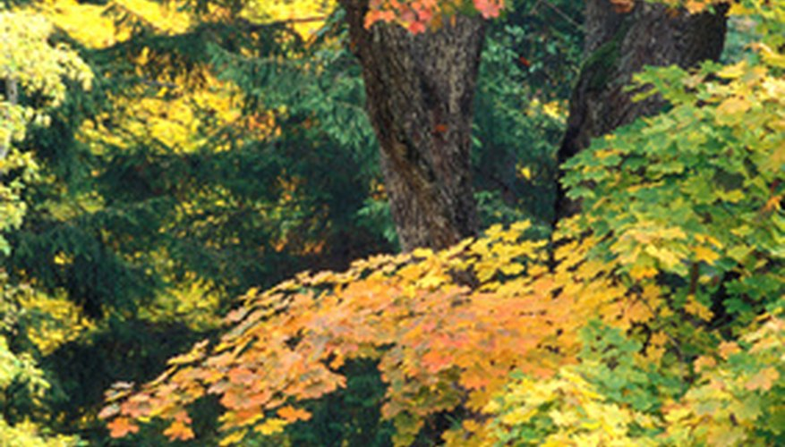 Sycamore maple leaves turn yellow to green-brown in the fall.