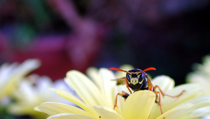 Yellow jackets are wasps that may nest in attics or inside walls.