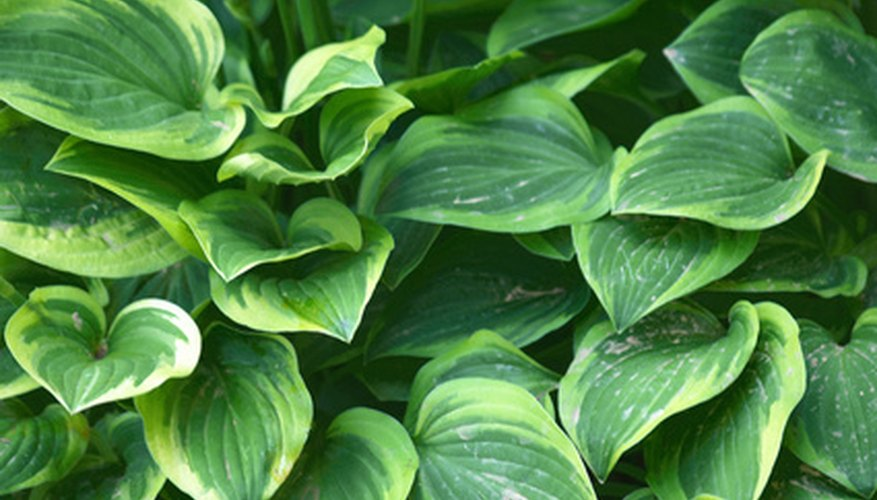 Variegated hosta foliage