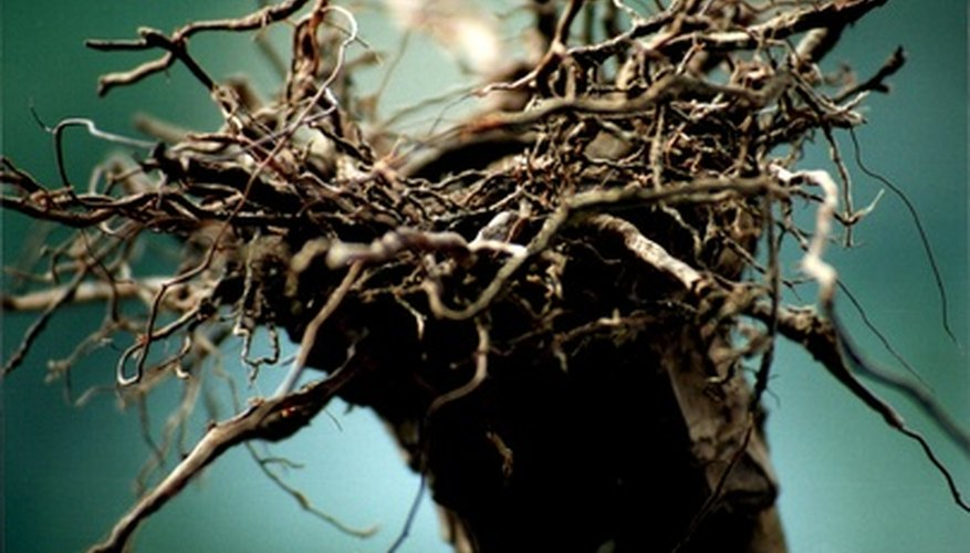 Treat root rot immediately to keep your plant alive.