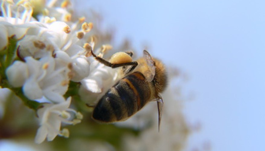 Bees pollinate almond blossoms.