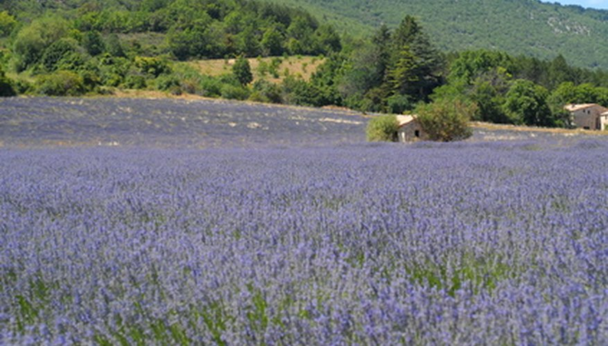 Provence lavender is a tall and fragrant lavender.