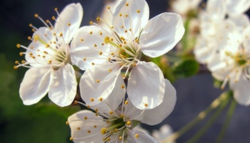 White flowering plum tree blossom