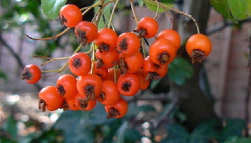 Goji berry plants can be propagated through softwood cuttings.