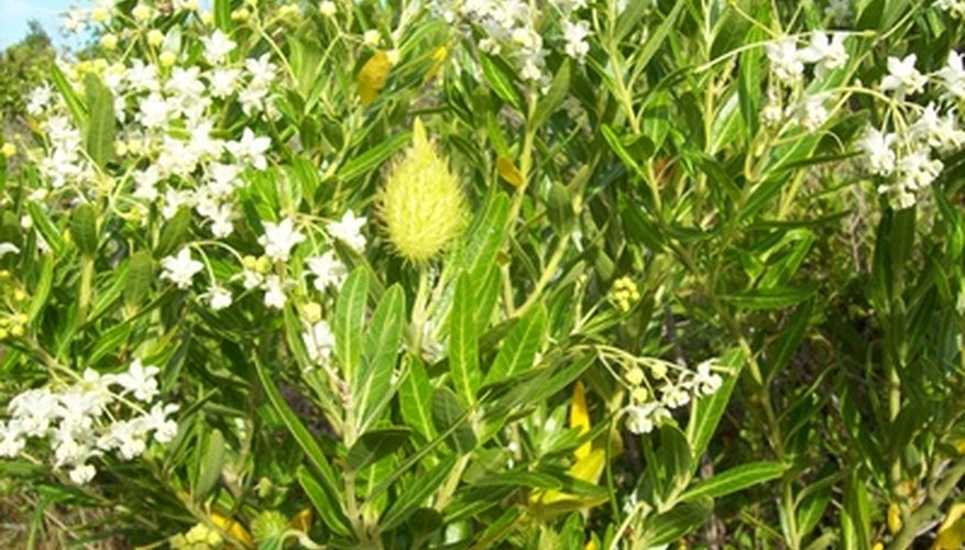 Willow shrubs are more numerous than willow trees.