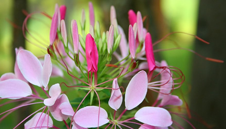 Cleome in bloom