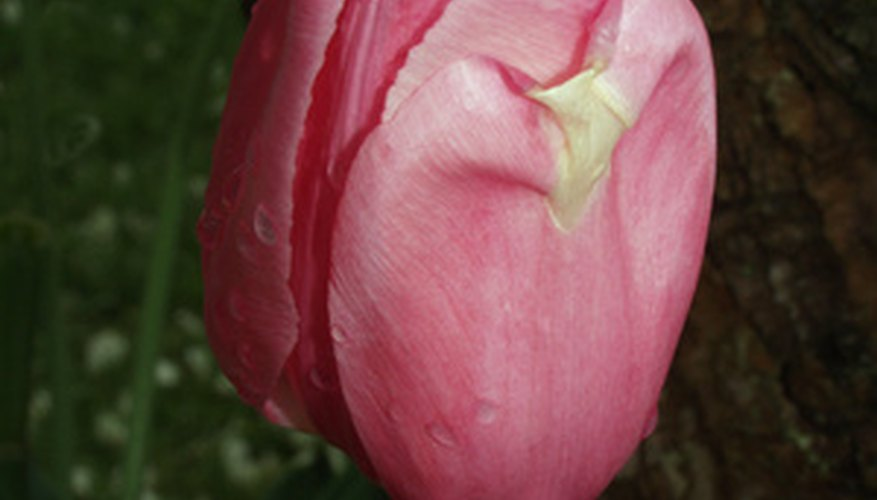 Although not related to tulips, the tulip tree's flowers resemble them.