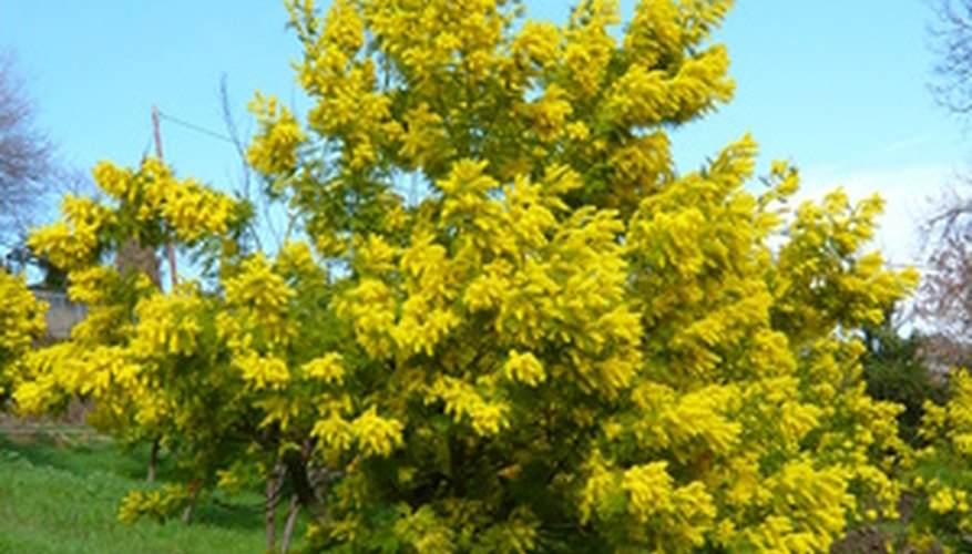 A mimosa tree in full bloom.