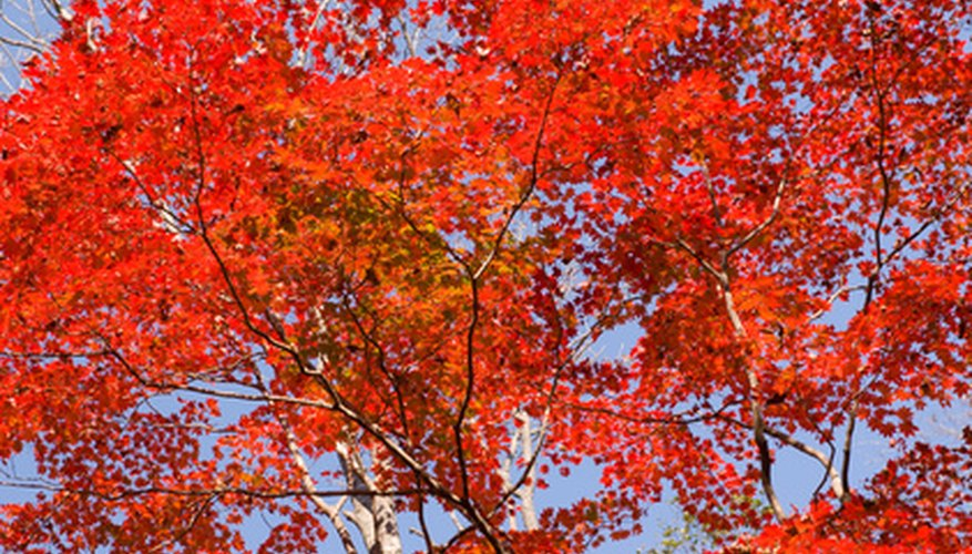 A maple tree with fall foliage.