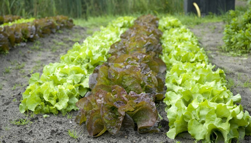Lettuce is a leafy, low-growing crop that does not produce an edible flower or fruit.