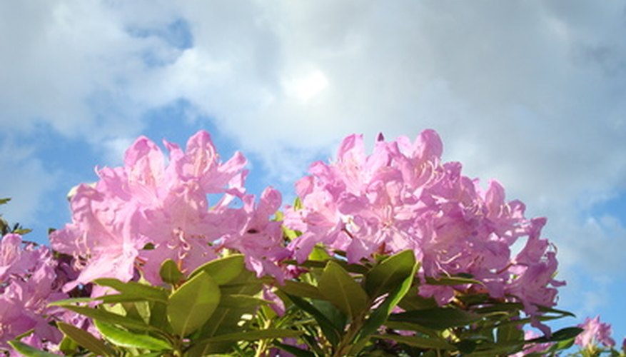 The Pacific rhododendron blooms in early summer with large clusters of flowers.