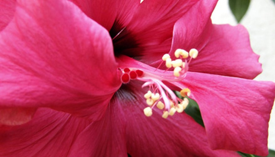 Hibiscus have single and double blooms.