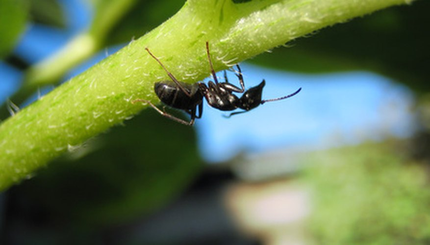 Ants will forage a garden for fruits and vegetables to eat, including strawberries.