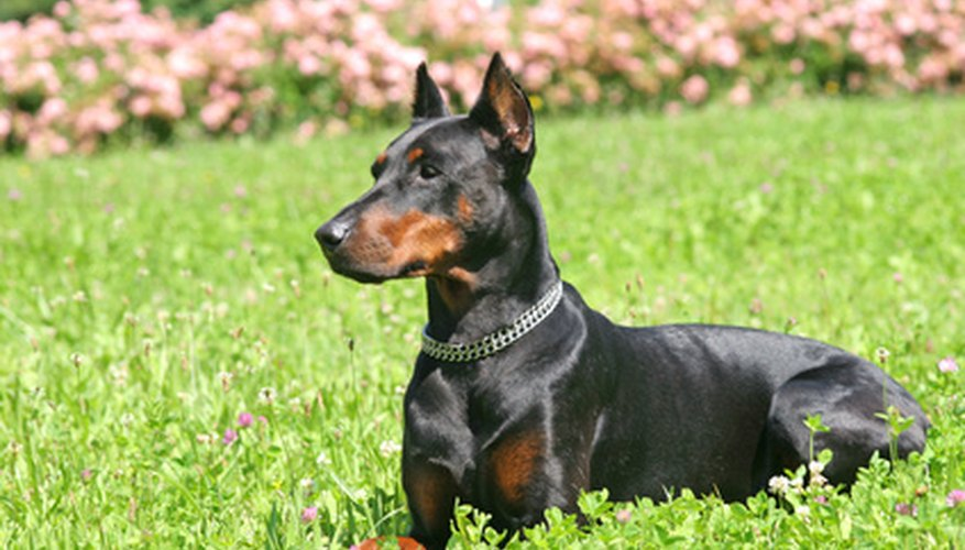 Despite its fierce guard dog reputation, the Doberman is a great family dog.