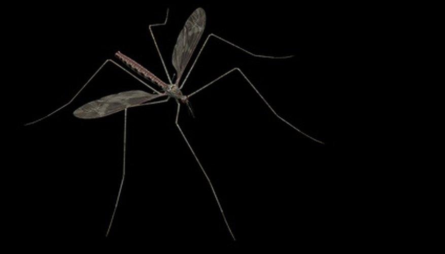 Las picaduras de mosquito pueden transmitir encefalitis y malaria.