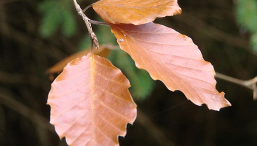 Beech leaves have serrated edges.