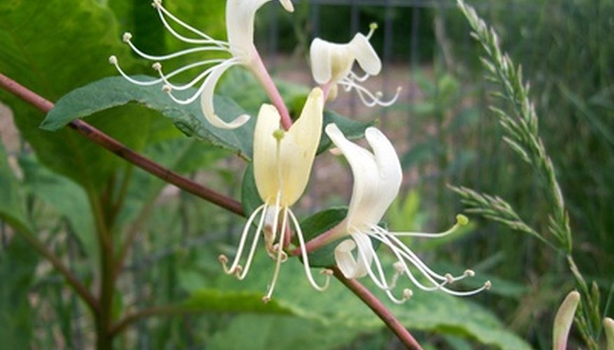 Honeysuckle has a fragrance that is unforgettable.