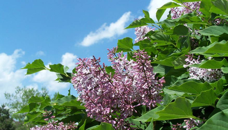 Lilac bushes produce beautiful flowers when cared for properly.