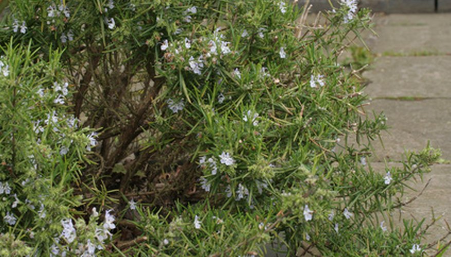 Rosemary creates a dense green border with light purple to white flowers.