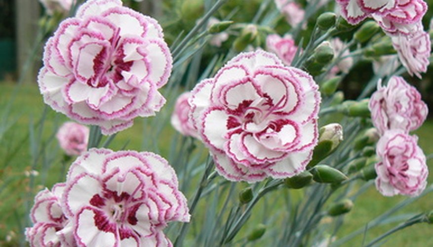 Dianthus add color to gardens.