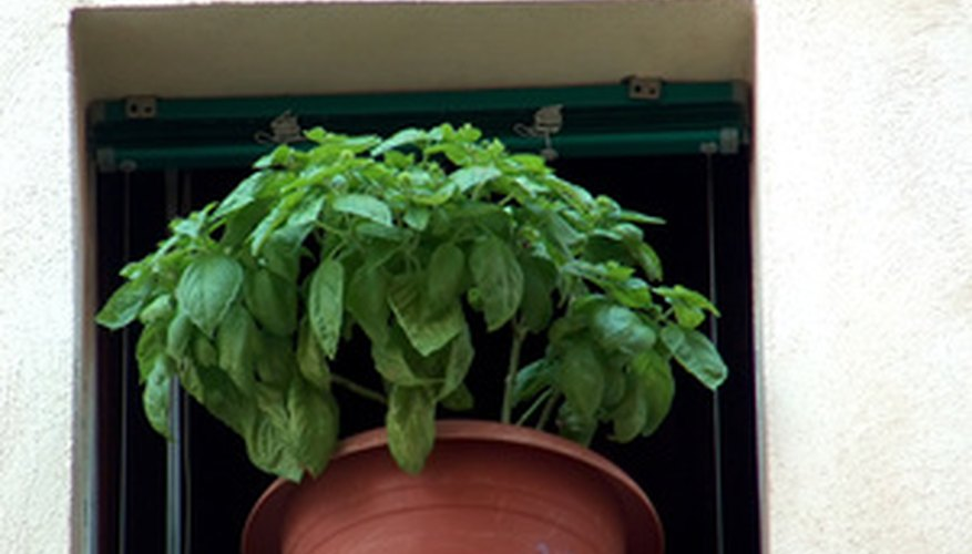 Basil grown in a clay pot.