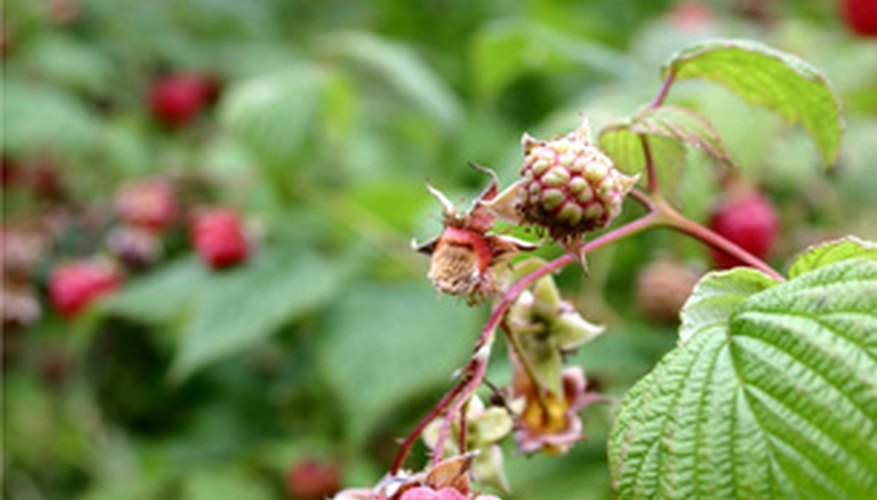 Wet roots leave raspberry plants susceptible to Phytophthora root rot.