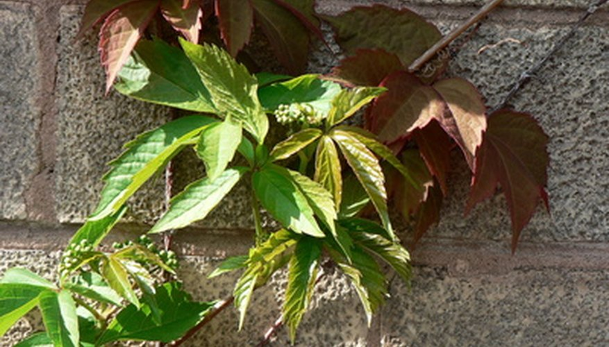 Virginia creeper is often mistaken for poison ivy, but it has too many leaves.