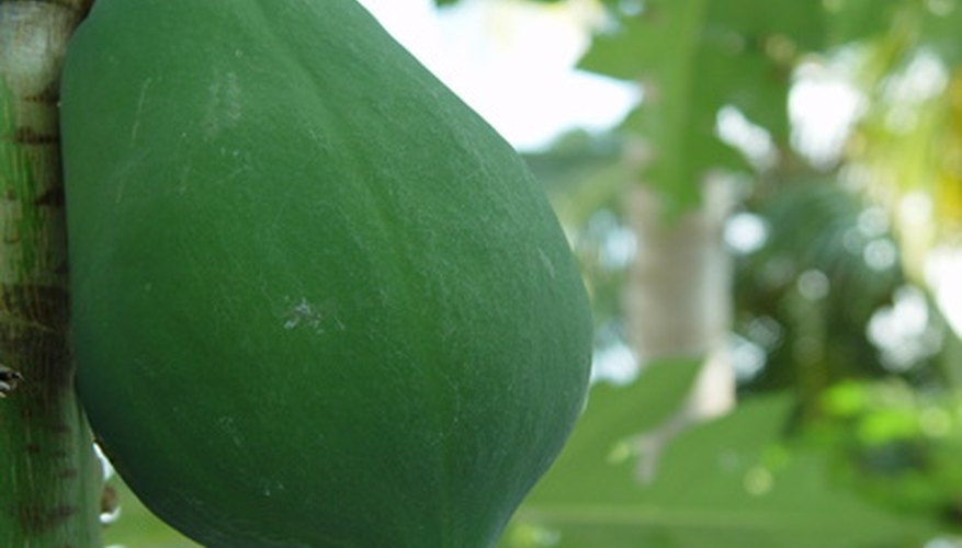 Papaya trees are common fruit trees of rainforests.
