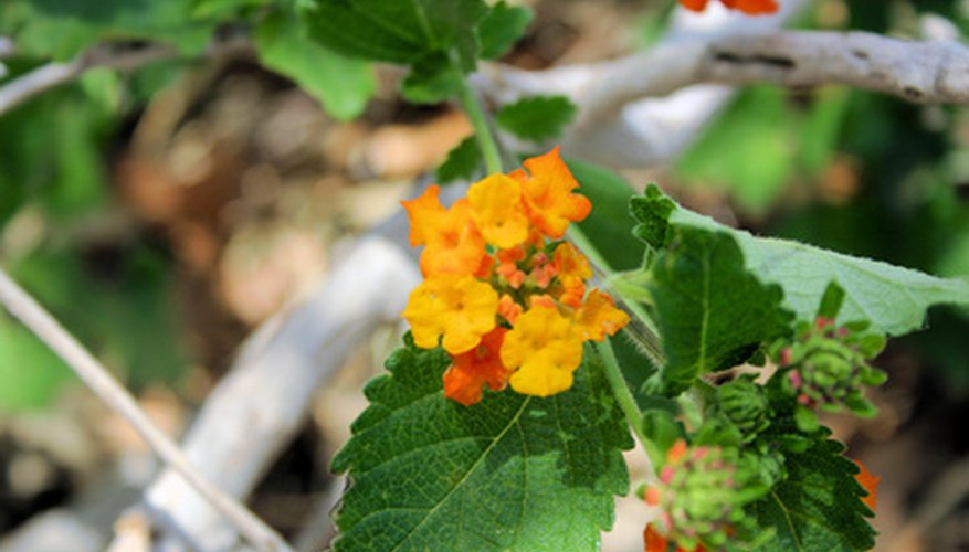 Lantana produces lots of brightly colored flowers.