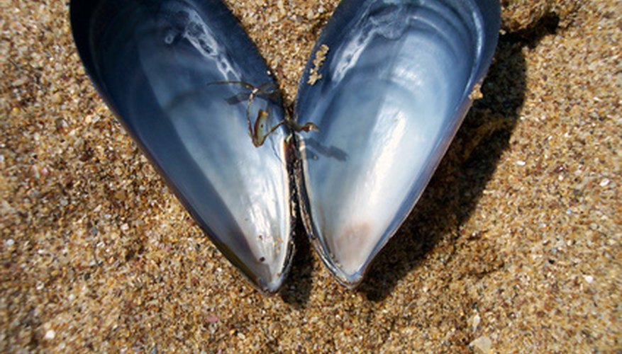 Mussels have a long shell.