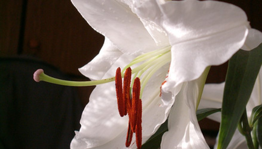 Lilies represent renewal in the Christian faith.