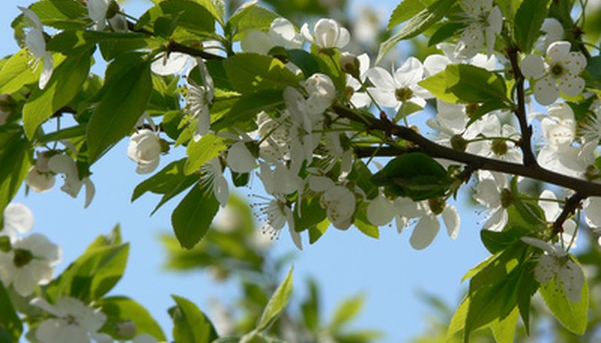 The leaves and flowers of a plum tree.
