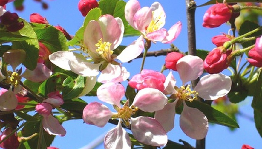 Crab apple trees produce pink or white blossoms mid-spring.