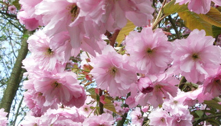 Kwanzan cherry trees offer beautiful spring blossoms.