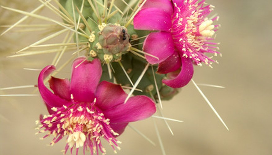 Teddy bear chollas perform well in Northern Utah.
