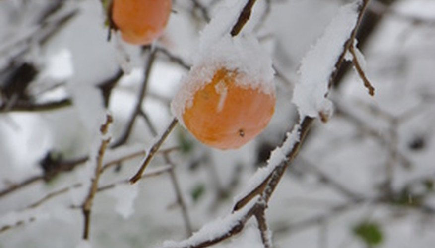 Persimmon tree in winter.