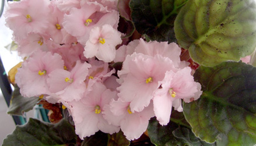 African violets are low maintenance pet friendly flowers.